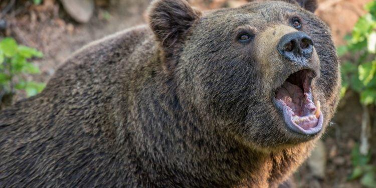 Svolta nella vicenda dell'orso in Trentino: verranno abbattuti i due cacciatori